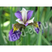 Növény Mocsári nőszirom kék /Iris pseudacorus versicolor/