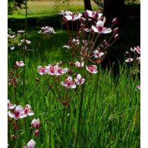 Növény Virágkáka /Butomus Umbellatus/
