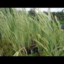 Növény Csíkos gyékény /Typha Latifolia variegata/