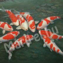 Hal Koi nagy 25-35cm