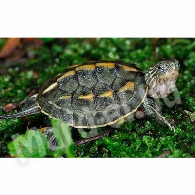 Kínai csíkos teknős